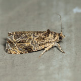 2776 - Woolly-backed Moth - Olethreutes furfuranum *