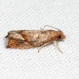 3120 - Derelict Pelochrista - Pelochrista derelicta *