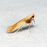 0641 – Caloptilia superbifrontella 6.21.17