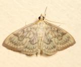 4944 - Angelic Crocidiphora - Crocidophora serratissimalis