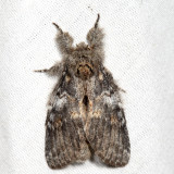 7920 - Angulose Prominent - Peridea angulosa