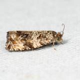 2859 - Celypha Moth - Celypha cespitana *