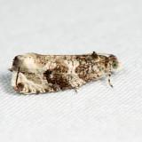 2821 - Serviceberry Leafroller - Olethreutes appendiceum 6.22.4