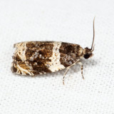 2823 - Banded Olethreutes - Olethreutes fasciatana *