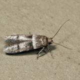 1167 – Blastobasis pulchella 6.22.12