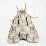 9238 - Great Oak Dagger - Acronicta lobeliae