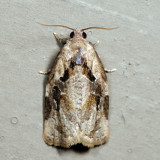 3660 - Gray Archips - Archips grisea *