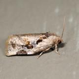 3660 - Gray Archips - Archips grisea 6.23.9