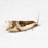 3355 - Ancylis subaequana *