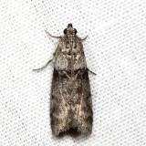 5788 - Meroptera abditiva *