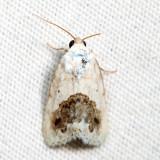 9095 - Small Bird-dropping Moth - Ponometia erastrioides 6.24.16