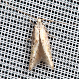 1461.1 - Apple Pith Moth - Blastodacna atra
