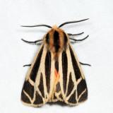 8171 - Nais Tiger Moth - Apantesis nais