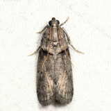 5664 - Hickory Shoot Borer - Acrobasis caryae