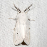 8140 - Fall Webworm Moth - Hyphantria cunea