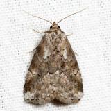 9037 – Dotted Graylet Moth – Hyperstrotia pervertens *