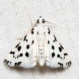 4794 - Spotted Peppergrass Moth - Eustixia pupula 6.26.8