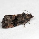 3495 - Dotted Ecdytolopha - Gymnandrosoma punctidiscanum 6.26.11