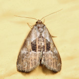 9040 - Black-patched Graylet - Hyperstrotia secta *