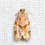 3688 - Garden Tortrix - Clepsis peritana 6.27.9