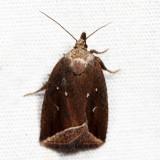 9059 - Curved Halter Moth - Capis curvata *