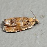 2778 - Olivaceous Olethreutes - Olethreutes olivaceana 6.28.10