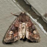 9545 - American Angle Shades - Euplexia benesimilis *