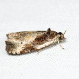 2787 - Bunchberry Leaffolder - Olethreutes connectum 6.29.18