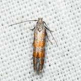 2229 – Stripe-backed Moth – Battaristis vittella 6.29.23