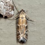 6011 – Brower's Vitula Moth – Vitula broweri 6.29.25
