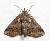 8959 - Pygmy Paectes - Paectes pygmaea *