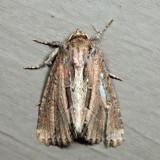 9433 – Chang Borer Moth – Xylomoia chagnoni *