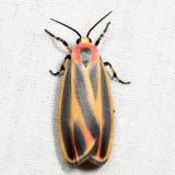 8090 - Painted Lichen Moth - Hypoprepia fucosa