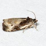 2787 – Bunchberry Leaffolder – Olethreutes connectum 6.30.10