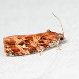 2771 - Macramé Moth - Phaecasiophora confixana 6.30.18