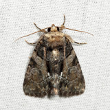 9556 - Cloaked Marvel - Chytonix palliatricula *