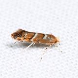 0808 – Cameraria australisella 6.30.30