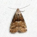 8424 - Hypenodes franclemonti *
