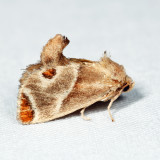 4669 - Shagreened Slug Moth - Apoda biguttata