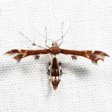 6092 – Himmelman's Plume Moth – Geina tenuidactyla *