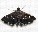 Diathrausta sp. 7.1.8
