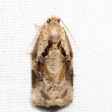 3660 - Gray Archips - Archips grisea 7.1.15