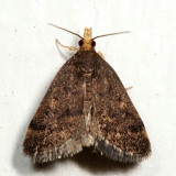 5117 - Loxostegopsis merrickalis 7.1.25
