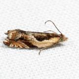 3359 - Black-marked Ancylis - Ancylis metamelana 7.1.30
