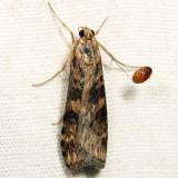 5156 - Lucerne Moth - Nomophila nearctica