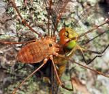 Harvestmen - Sclerosomatidae