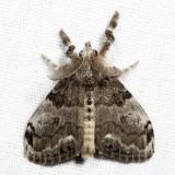 8316 - White-marked Tussock Moth - Orgyia leucostigma 7.2.3