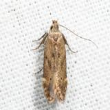 1707 – Monochroa angustipennella*
