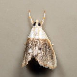 4888 - Sooty Lipocosmodes - Lipocosmodes fuliginosalis 7.2.7