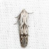 Hypatopa sp. 7.2.19